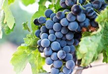 Are grapes bad for you?